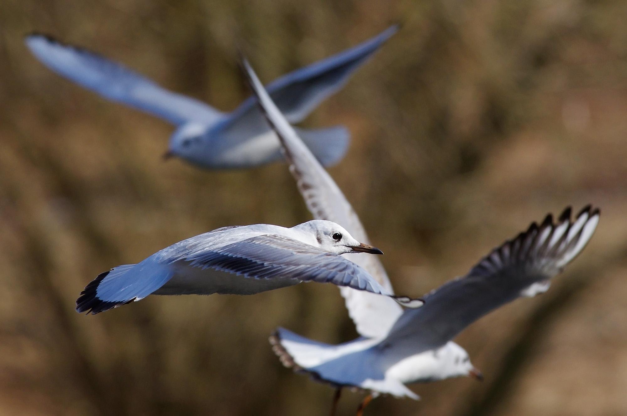 Pentax DA 300 mm f/4 ED (IF) SDM test flying birds photo Christian Nilsson
