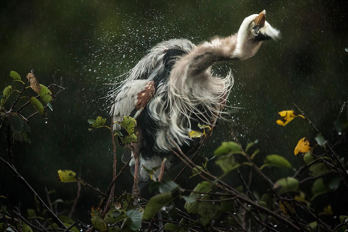 Amerikansk gråhäger foto Brutus Östling naturfotograf