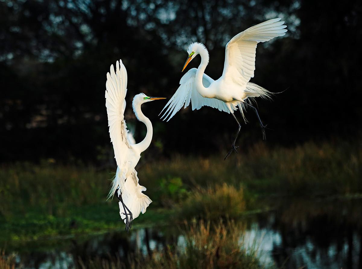 Brutus Östling fågelfotograf Ägretthägrar Florida