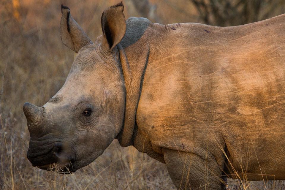 Denise Eriksson noshörning kampen mot tjuvjägare