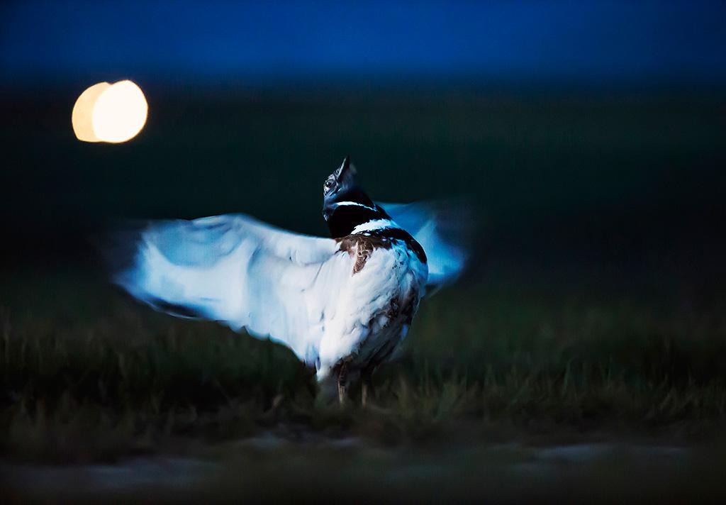 Småtrapp foto Brutus Östling fågelfotograf