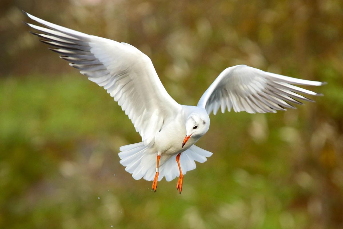 Canon EOS 7D Mark II test flygande fågel fåglar Christian Nilsson objektivtest.se
