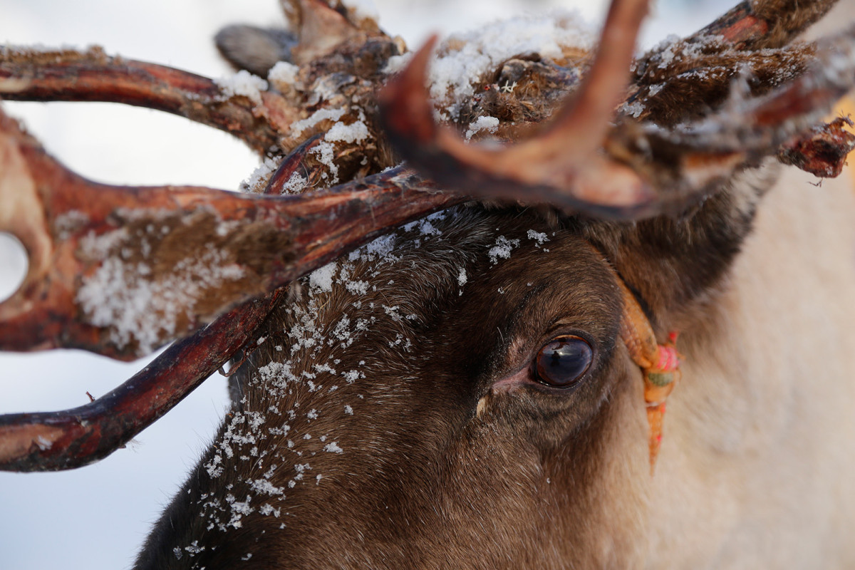 Test Canon EF 24-105mm F4 L IS USM Reindeer by Christian Nilsson Objektivtest.se