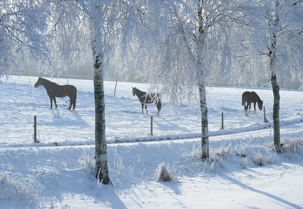 Hästar och träd täckta med rimfrost januari 2016 foto Christian Nilsson Objektivtest.se