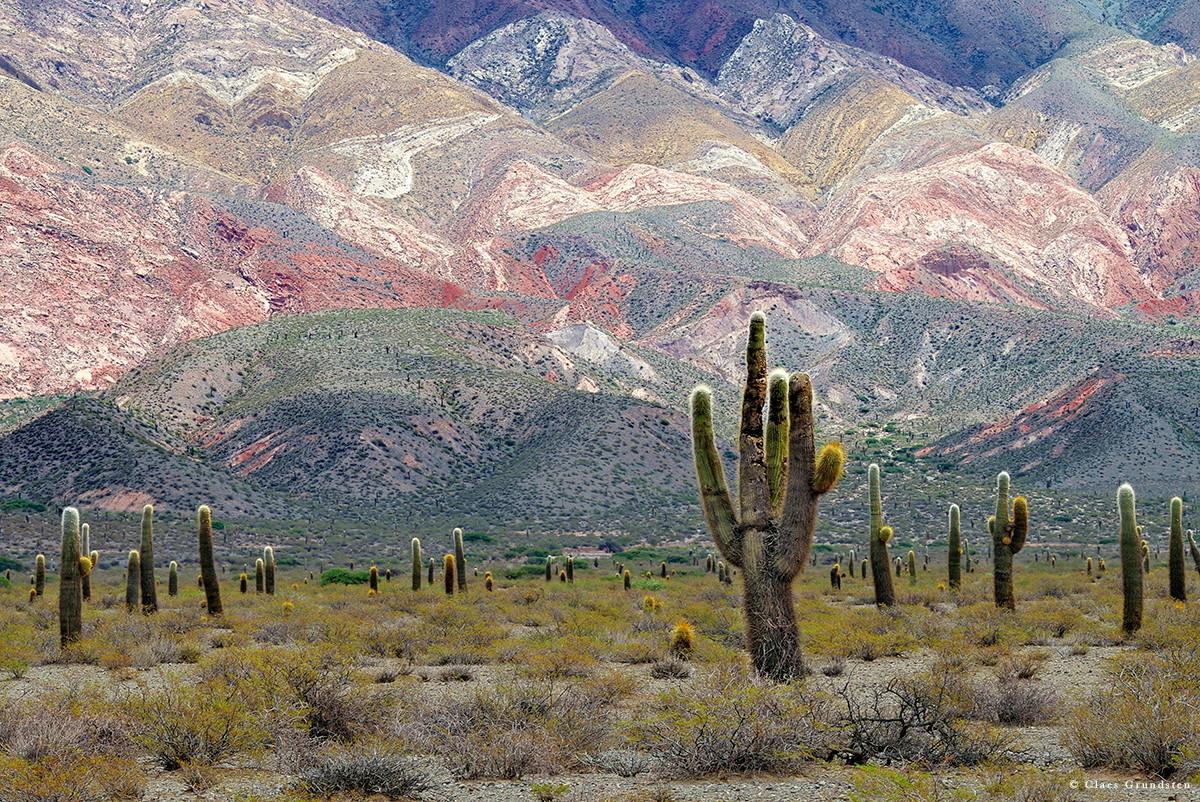I nationalparken Los Cardones skyddas den högväxta kaktusen som kallas Argentina saguaro foto Claes Grundsten blogg på Objektivtest.se