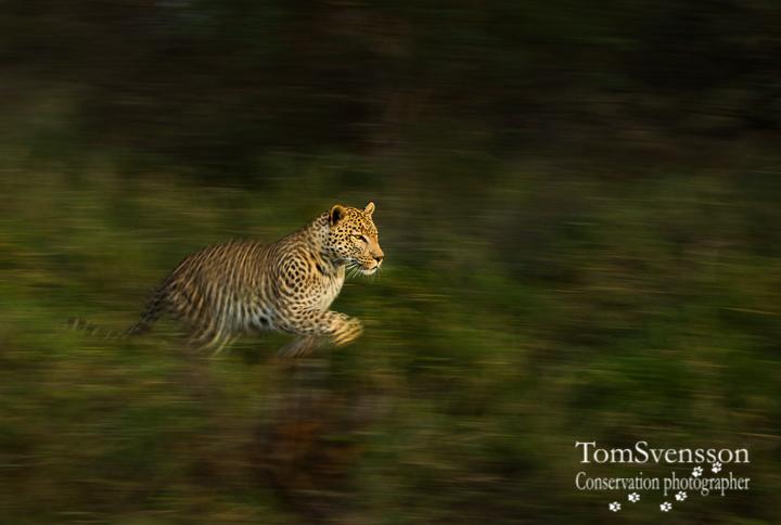 Tom Svensson bevarandefotograf leopard