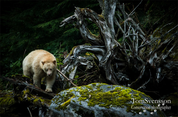 Tom Svensson white bear Alaska