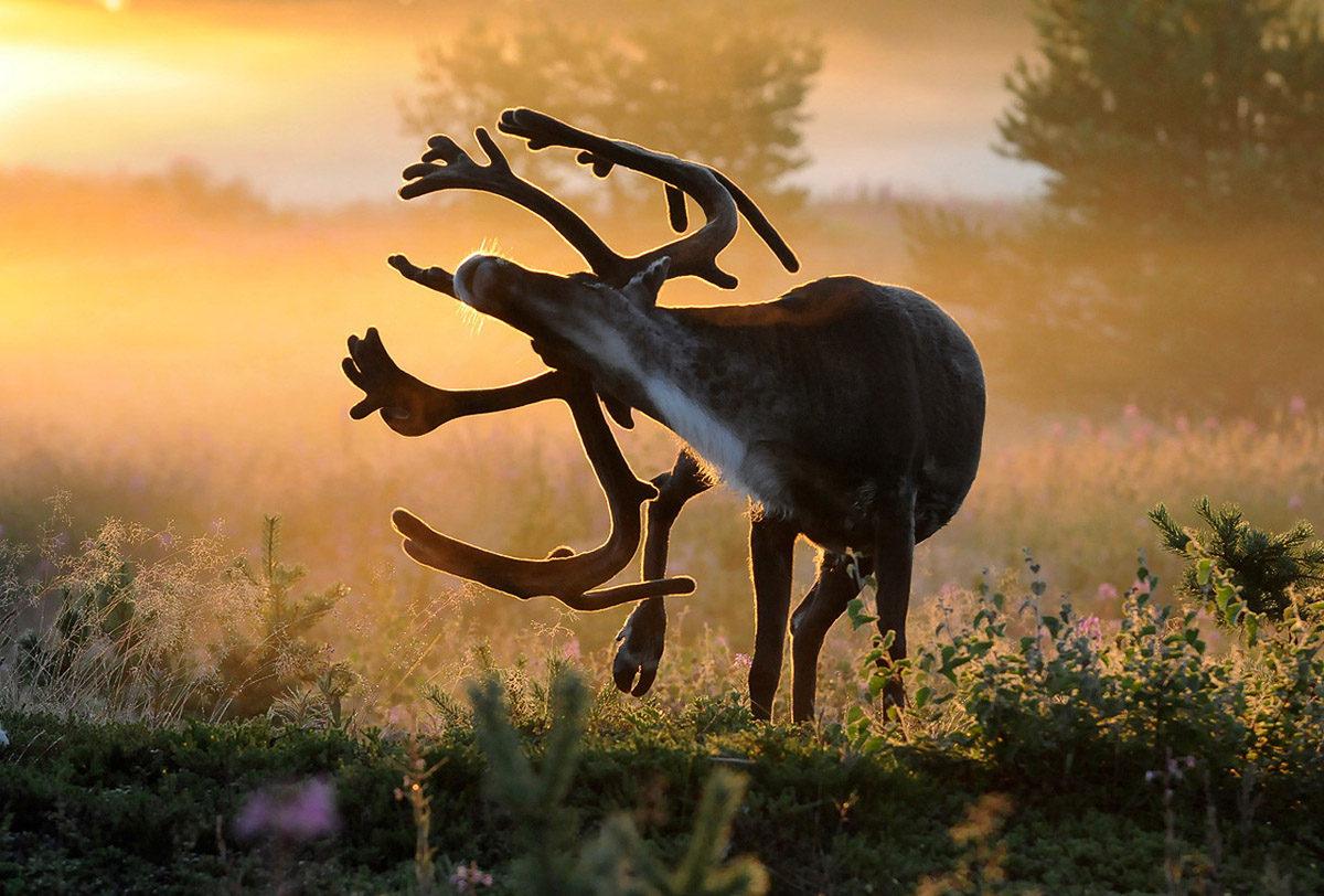 Ren i motljus tredje plats i fototävlingen på Objektivtest.se naturfotografen foto Torbjörn Lilja från Byske