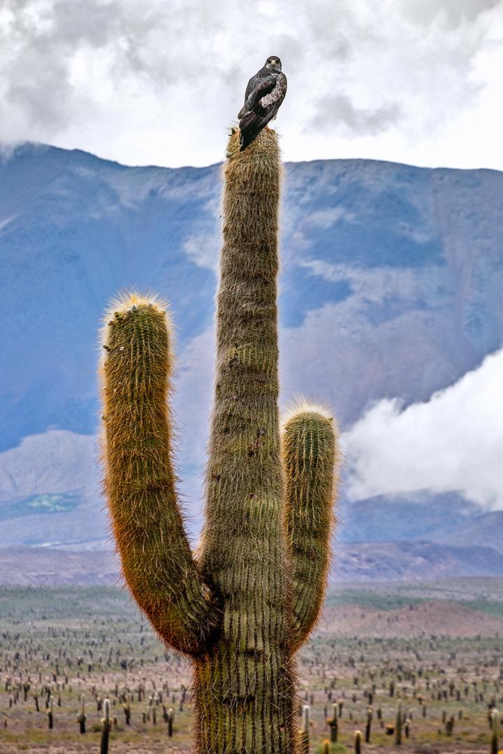 Argentina Saguaro foto Claes Grundsten bild 20