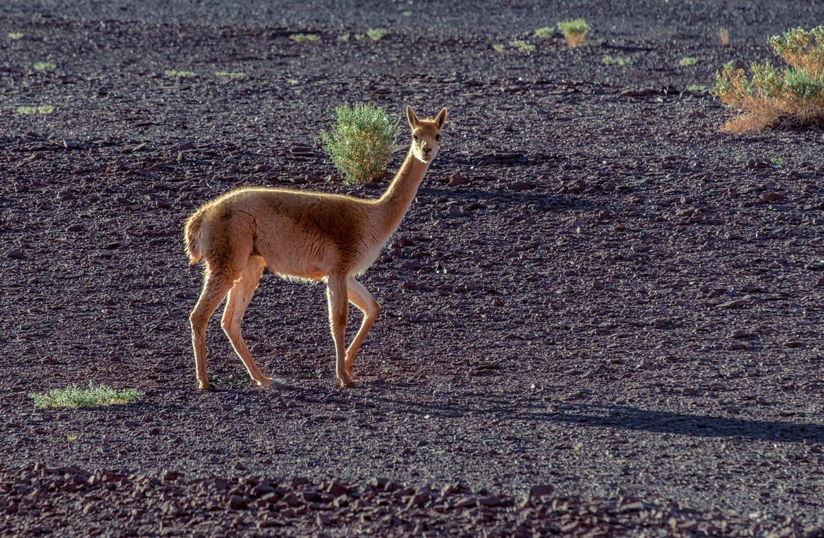 Claes Grundsten bloggar om djurliv i höga bergsöknar i Anderna Puna de Atacama bild på vikunja