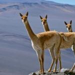Claes Grundsten bloggar: Djurliv i Andernas höga bergsöknar