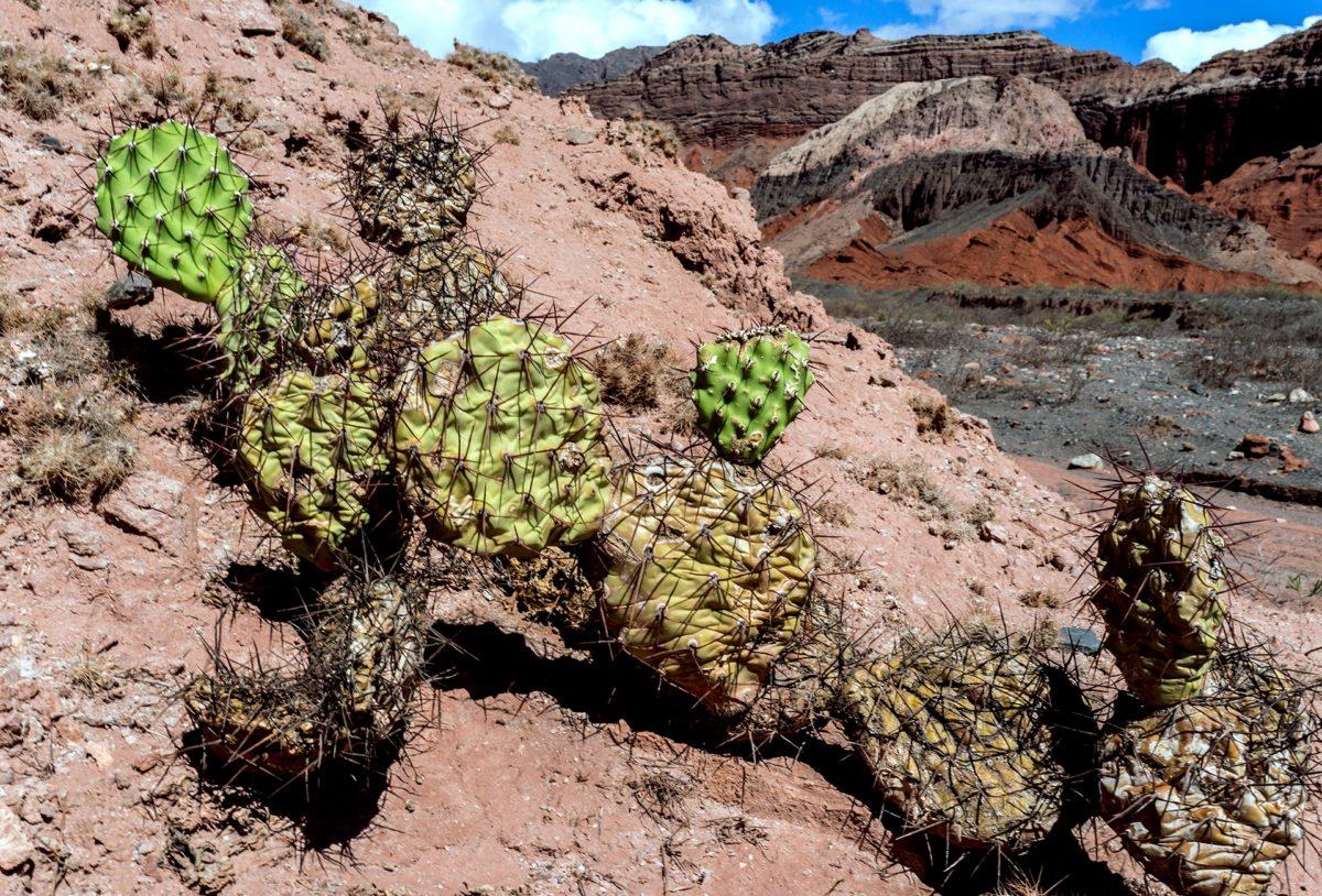 Kaktus Opuntia quimilo i Quebrada los Conchas, Anderna foto Claes Grundsten