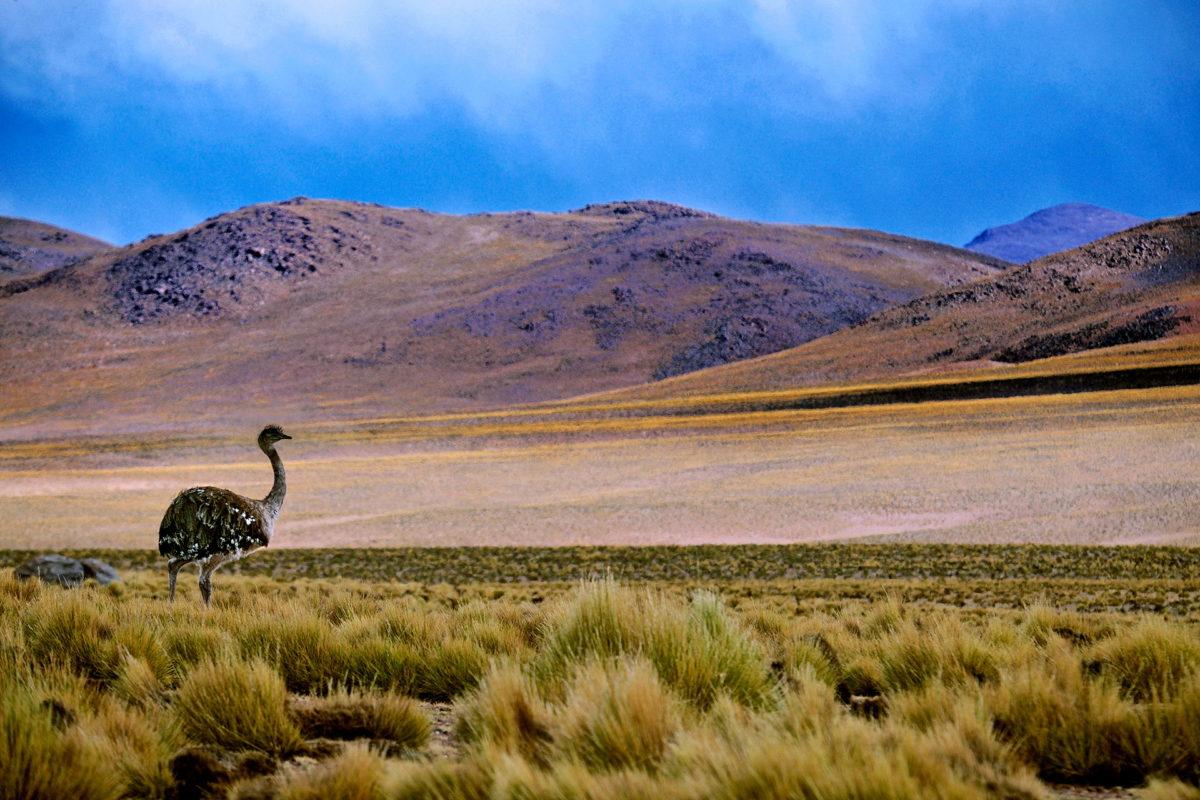 sydamerikansk struts nandu foto Claes Grundsten blogg på Objektivtest.se