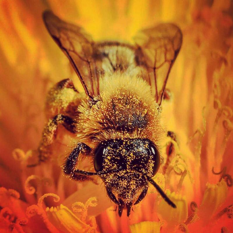 Bi med pollen foto Linda Öberg besökarnas Instagram bilder