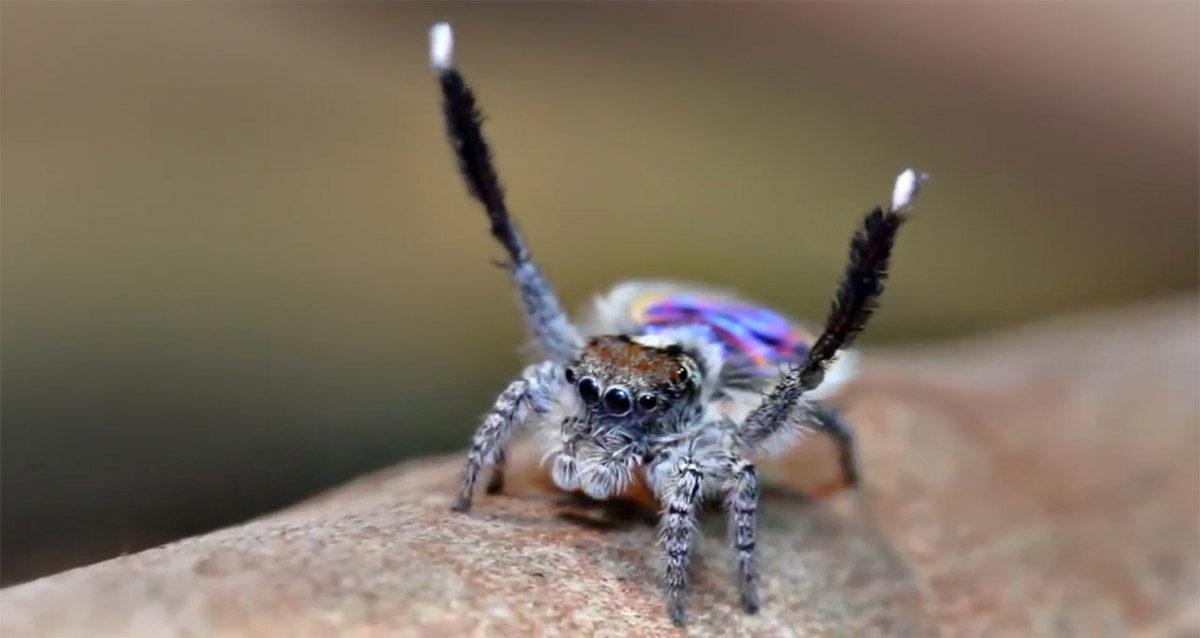 Wow – det här är den coolaste spindel du sett. Garanterat!
