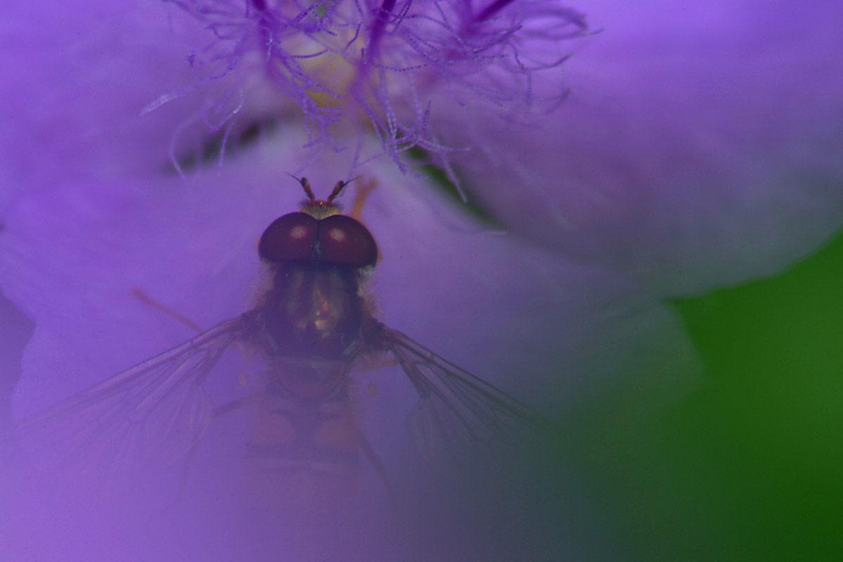 Blomfluga naturfotografering Inge Johnsson