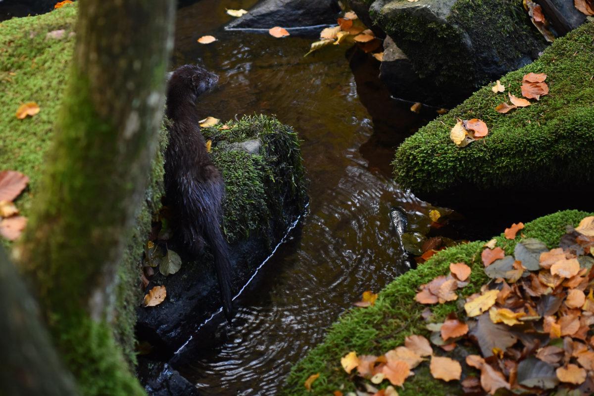 mink-naturfoto-blogg-christian-nilsson