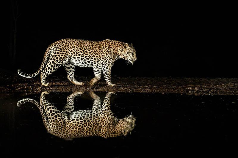 Leopard i boken Under Afrikas himlar av naturfotografen Brutus Östling